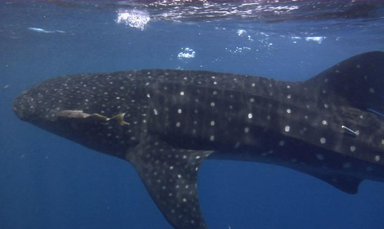 Deep Blue Utila Swim With Whale Sharks At Our All Inclusive Resort